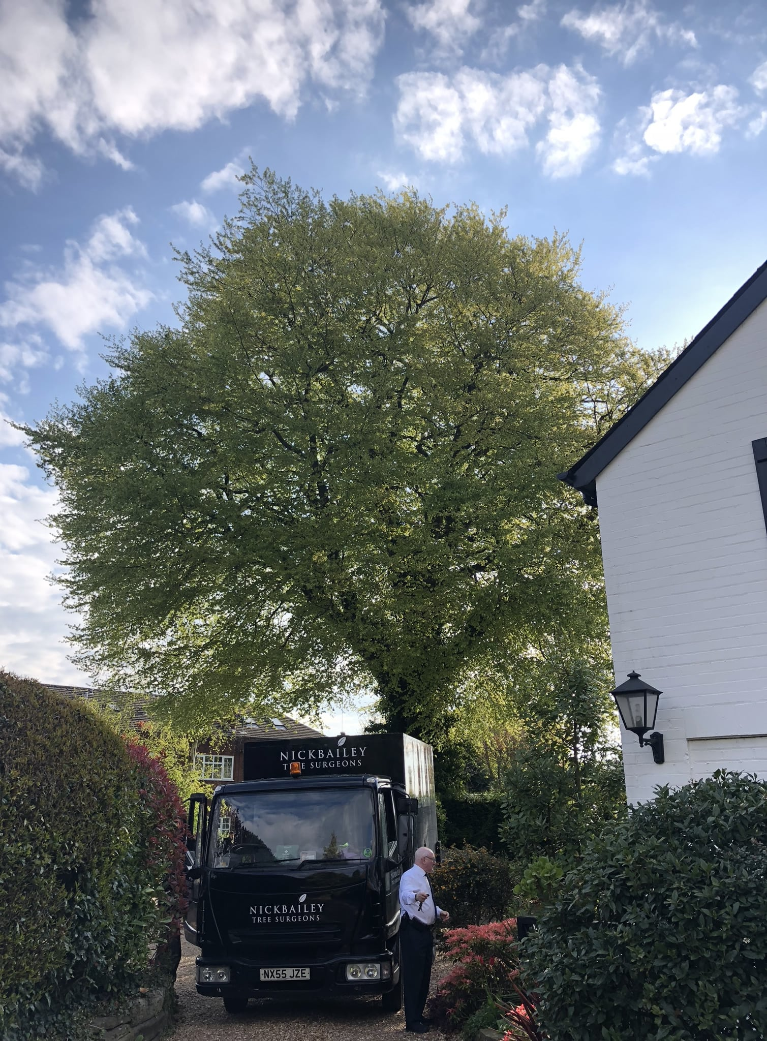 Beech tree crown lift before and after